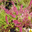 calluna_vulgaris_kir.royal.
