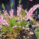 calluna_vulgaris_red.favorite.