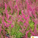 calluna_vulgaris_allegretto
