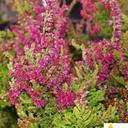 calluna_vulgaris_collete.
