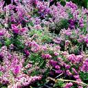 calluna_vulgaris_red.pimpernel.
