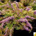 calluna_vulgaris_golden.carpet